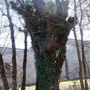 Photographie n°2273473 du taxon Populus nigra L.