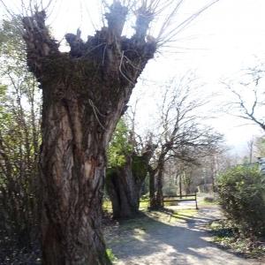 Photographie n°2273477 du taxon Populus nigra L.