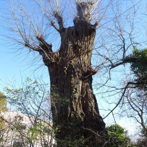 Photographie n°2273478 du taxon Populus nigra L.