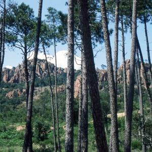 Photographie n°2273579 du taxon Pinus halepensis Mill. [1768]