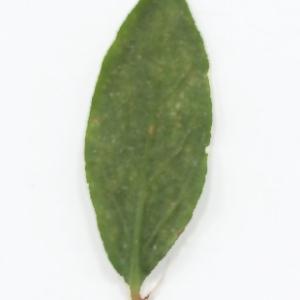 Photographie n°2273625 du taxon Polygonum maritimum L. [1753]