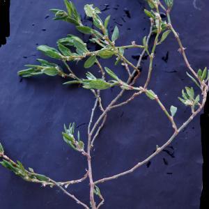 Photographie n°2273646 du taxon Polygonum maritimum L. [1753]