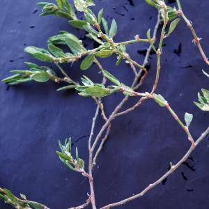 Photographie n°2273648 du taxon Polygonum maritimum L. [1753]
