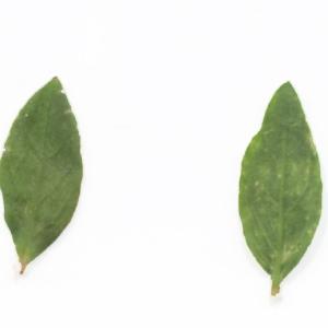 Photographie n°2273652 du taxon Polygonum maritimum L. [1753]