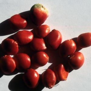 Photographie n°2273724 du taxon Ceratonia siliqua L.