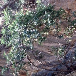 Photographie n°2273731 du taxon Ceratonia siliqua L.