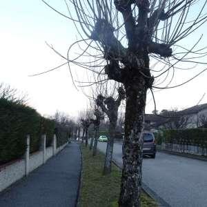 Photographie n°2273787 du taxon Acer pseudoplatanus L.