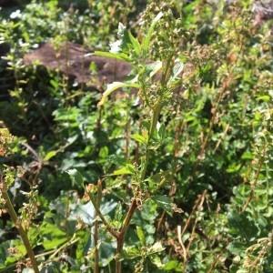 - Amaranthus spinosus L. [1753]