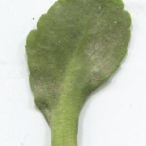 Photographie n°2274151 du taxon Bellis perennis L.