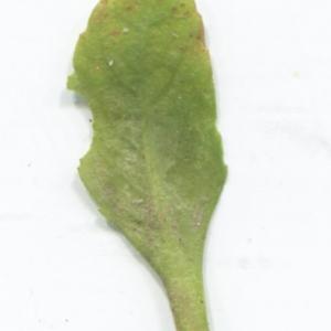 Photographie n°2274152 du taxon Bellis perennis L.