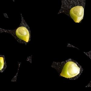 Photographie n°2274158 du taxon Ranunculus bulbosus L. [1753]