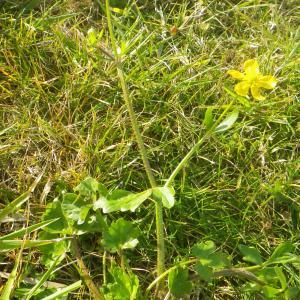 Photographie n°2274161 du taxon Ranunculus bulbosus L. [1753]
