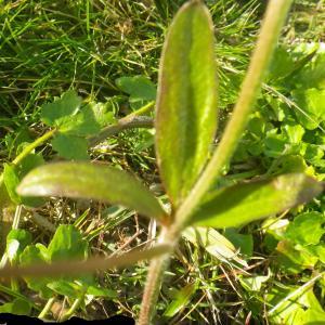 Photographie n°2274164 du taxon Ranunculus bulbosus L. [1753]