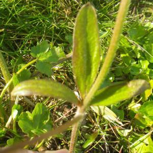 Photographie n°2274166 du taxon Ranunculus bulbosus L. [1753]