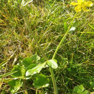 Photographie n°2274167 du taxon Ranunculus bulbosus L. [1753]
