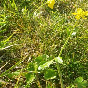 Photographie n°2274168 du taxon Ranunculus bulbosus L. [1753]