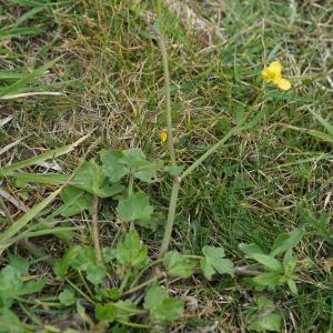 Photographie n°2274205 du taxon Ranunculus bulbosus L. [1753]