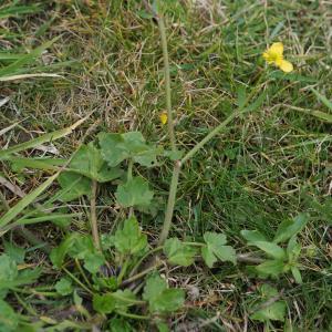 Photographie n°2274206 du taxon Ranunculus bulbosus L. [1753]