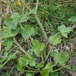 Photographie n°2274207 du taxon Ranunculus bulbosus L. [1753]