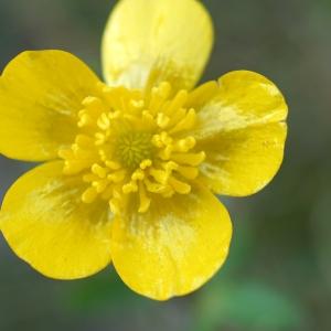 Photographie n°2274209 du taxon Ranunculus bulbosus L. [1753]
