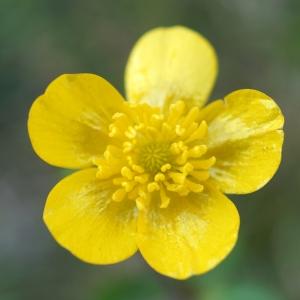 Photographie n°2274210 du taxon Ranunculus bulbosus L. [1753]
