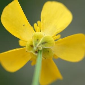 Photographie n°2274214 du taxon Ranunculus bulbosus L. [1753]