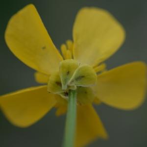 Photographie n°2274217 du taxon Ranunculus bulbosus L. [1753]