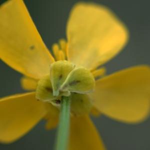 Photographie n°2274218 du taxon Ranunculus bulbosus L. [1753]