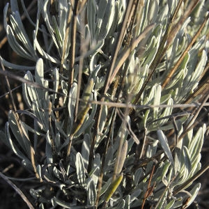 Photographie n°2274512 du taxon Lavandula latifolia Medik.