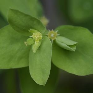 Photographie n°2274532 du taxon Euphorbia peplus L. [1753]