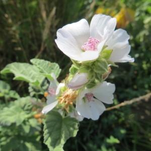 Photographie n°2274603 du taxon Althaea officinalis L. [1753]