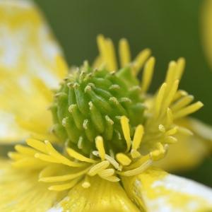 Photographie n°2274649 du taxon Ranunculus bulbosus L. [1753]