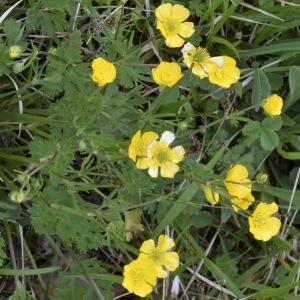 Photographie n°2274652 du taxon Ranunculus bulbosus L. [1753]