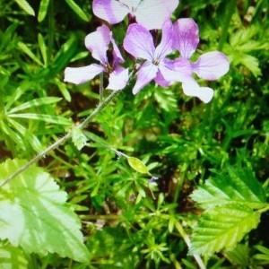 Photographie n°2274787 du taxon Lunaria annua L. [1753]