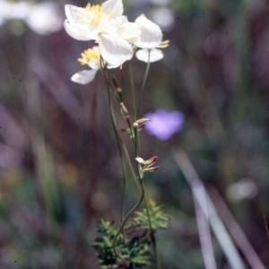 Photographie n°2274922 du taxon Thalictrum tuberosum L. [1753]