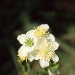 Photographie n°2274927 du taxon Thalictrum tuberosum L. [1753]