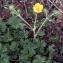 Liliane Roubaudi - Ranunculus montanus Willd. [1799]