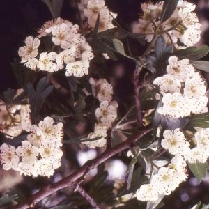 Photographie n°2275030 du taxon Crataegus azarolus L. [1753]