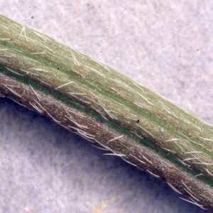 Photographie n°2275054 du taxon Ranunculus bulbosus L. [1753]