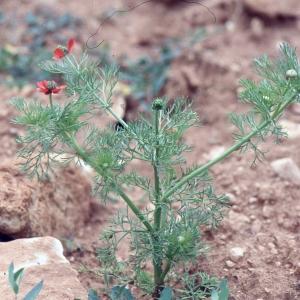 Photographie n°2275060 du taxon Adonis annua L. [1753]