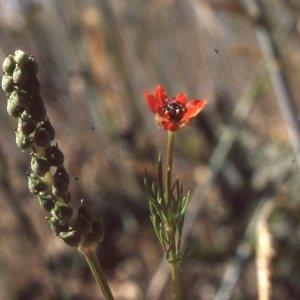 Photographie n°2275063 du taxon Adonis annua L. [1753]