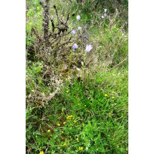 Campanula persicifolia L. var. persicifolia
