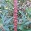 Hugo Santacreu - Euphorbia characias L. [1753]