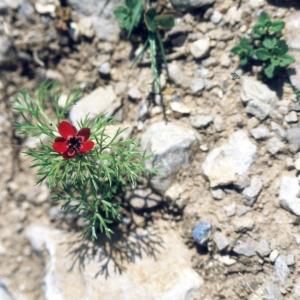 Photographie n°2275255 du taxon Adonis aestivalis L. [1762]