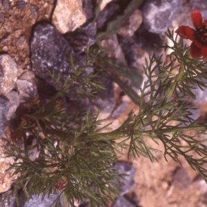 Photographie n°2275261 du taxon Adonis aestivalis L. [1762]