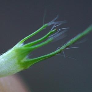 Photographie n°2275273 du taxon Trifolium pratense L. [1753]