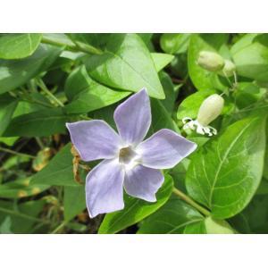 Vinca difformis Pourr. subsp. difformis (Pervenche difforme)