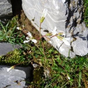 Photographie n°2275416 du taxon Saxifraga granulata L.