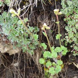 Photographie n°2275431 du taxon Saxifraga granulata L.