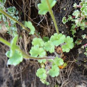 Photographie n°2275432 du taxon Saxifraga granulata L.